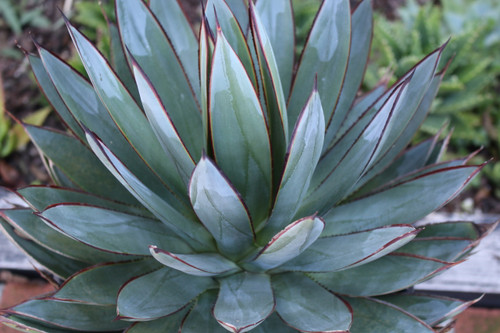 Agave Blue Glow large