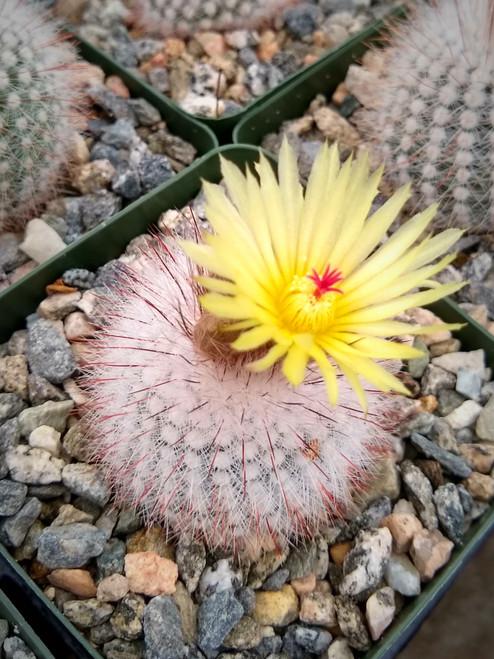 Notocactus Scopa Rubra Cactus Plant
