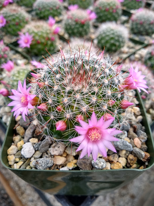Mammillaria Zeilmanniana Cactus Plant