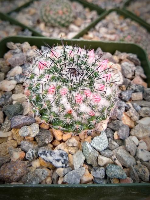 Mammillaria Pseudoperbella Cactus Plant