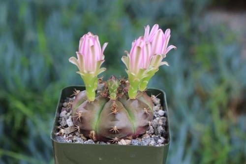 Gymnocalycium Rotundulum Cactus Plant