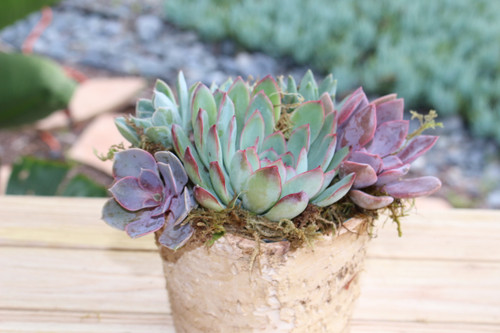 Succulent Arrangement, Live succulents Birch round planter, Holiday Gift, Tabletop decor, Housewarming Gift