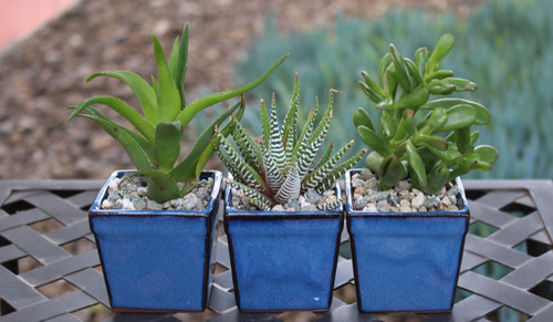Succulents potted in ceramic square pots