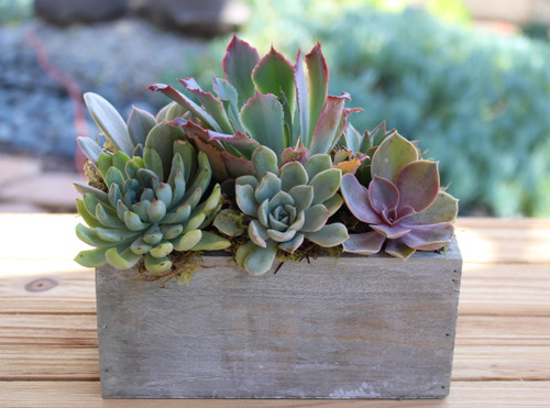 Succulent Arrangement, Live succulents washed wood planter, Holiday Gift, Tabletop decor, Housewarming Gift