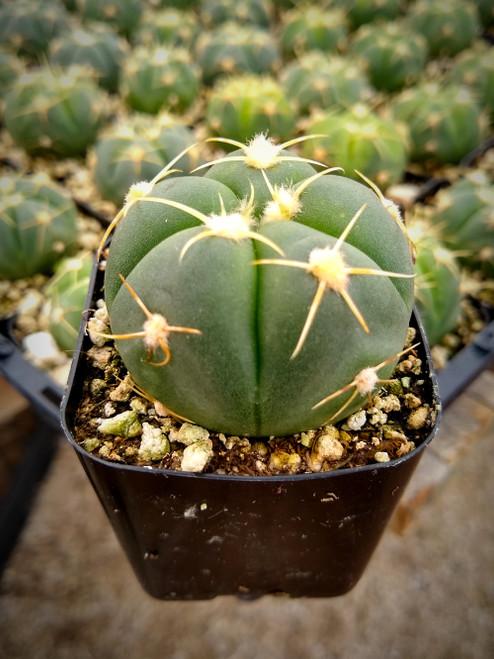 Gymnocalycium Horstii Cactus Plant