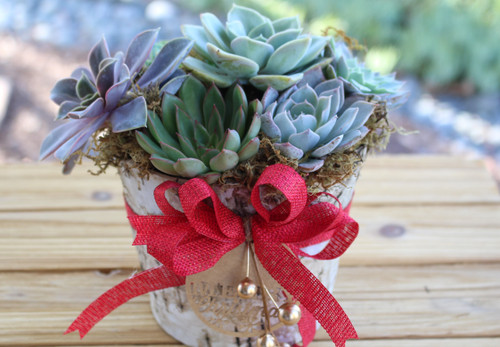 Holiday succulent arrangement in Birch wood container