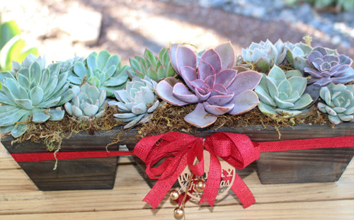 Holiday decorated gift Succulent Rosette