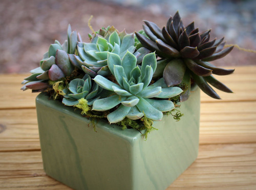 Spring Succulent Arrangement, Live Succulents  Green Ceramic  Planter, Holiday Gift, Tabletop decor