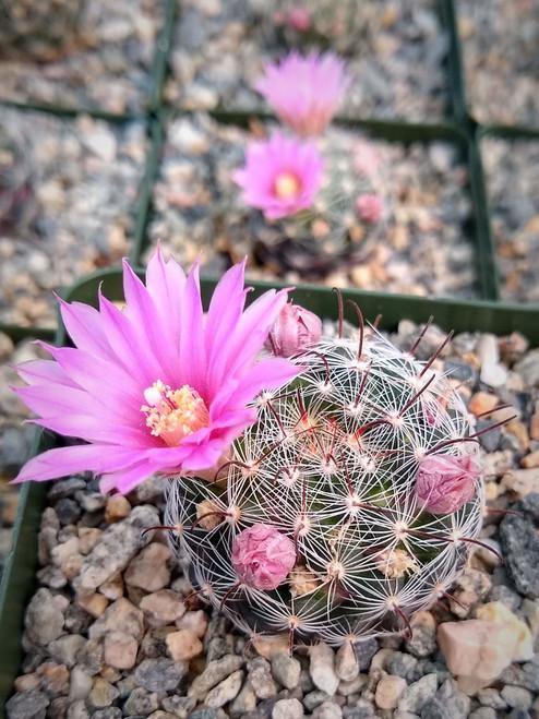 Mammillaria Stampferi Cactus Plant