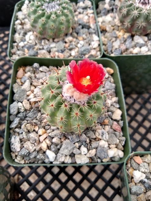 Parodia Occulta Cactus Plant