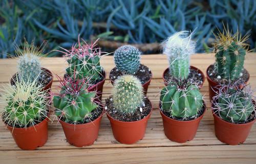 Mixed mini cactus collection