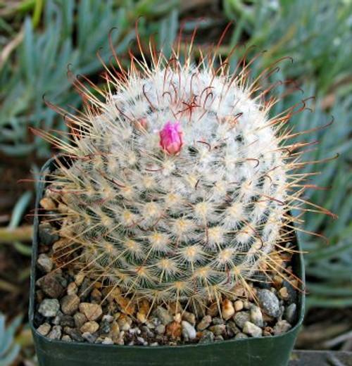 Mammilaria Bombycina cactus plant