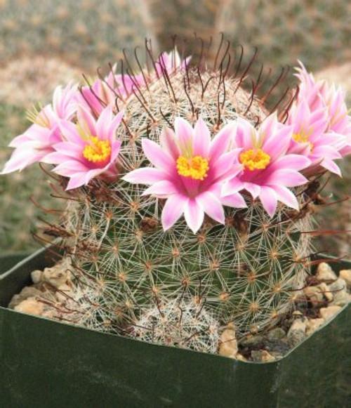 Mammillaria Microcarpia Cactus Plant