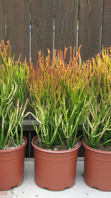 Euphorbia Tirucalli Fire Stick Large Succulent Plant