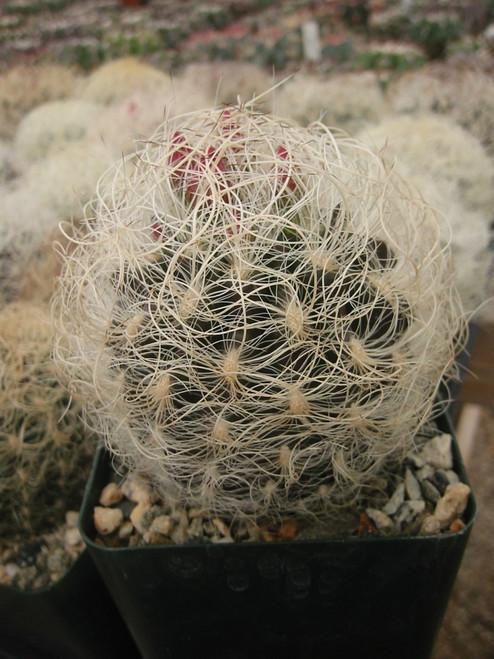 Neoporteria Senilis Cactus Plant