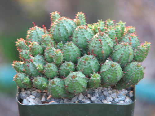 Euphorbia Monstrose Succulent Plant