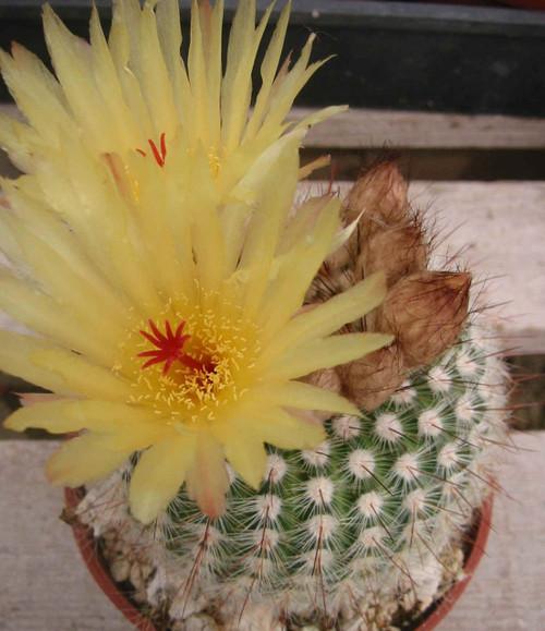 Notocactus Scopa Cactus Plant