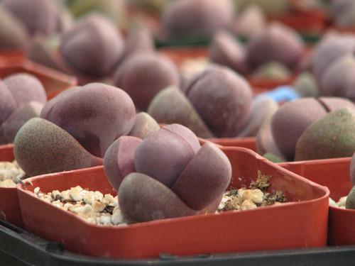 Pleiospilos Royal Flush Succulent Plant