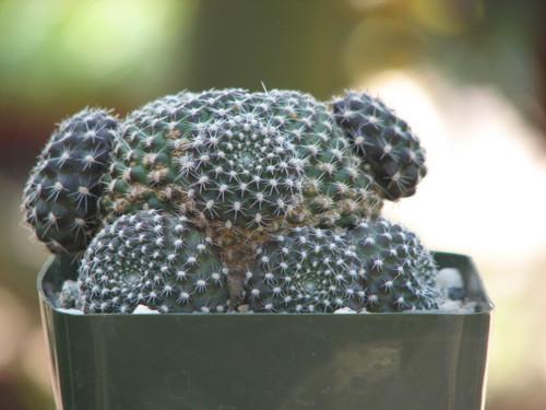 Rebutia Krainziana Cactus Plant