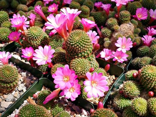 Rebutia Perplexa Cactus Plant
