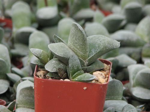 Gasteria Glimerata Succulent Plant
