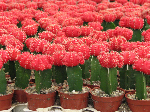 Grafted Red Moon Cactus