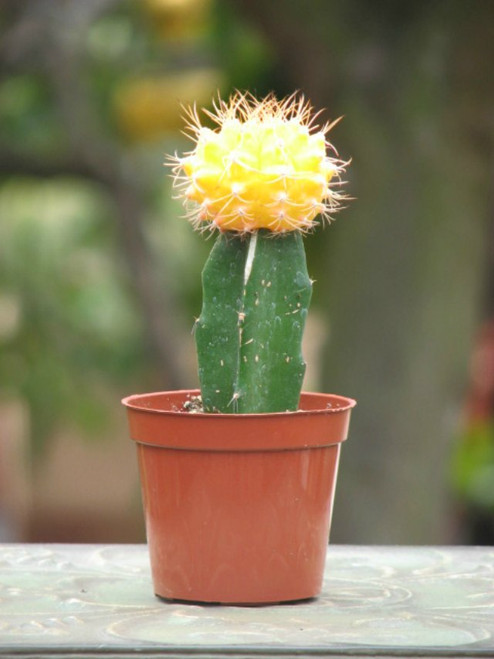 Grafted Yellow Cactus Plant