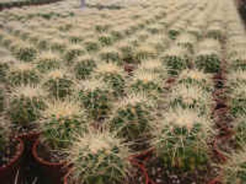 Echinocactus Grusonii Cactus Plant