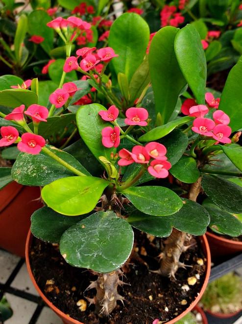 Crown of Thorns Euphorbila Milii Succulent Plant