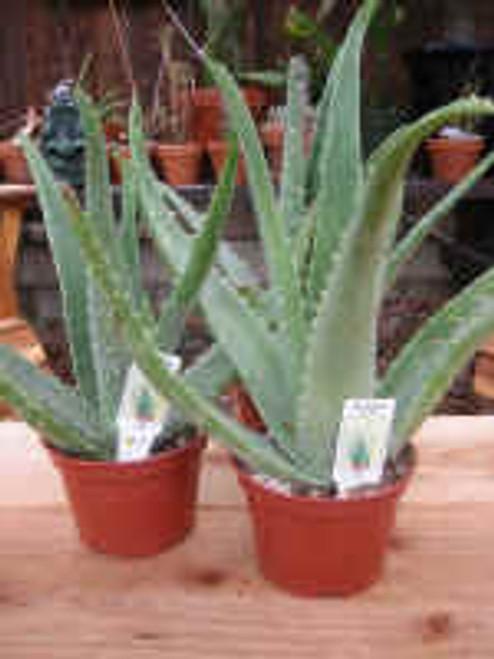 Aloe Vera duo Medicine Plant