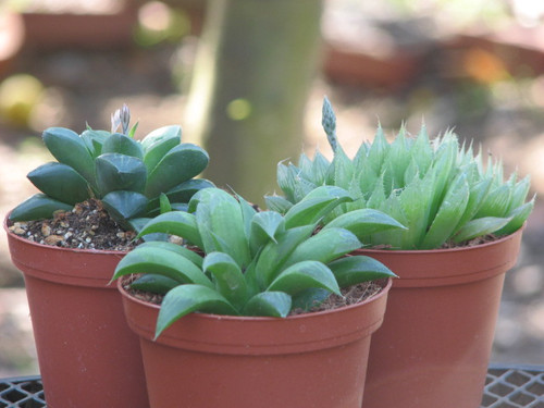 Three Haworthia Plants Special Value