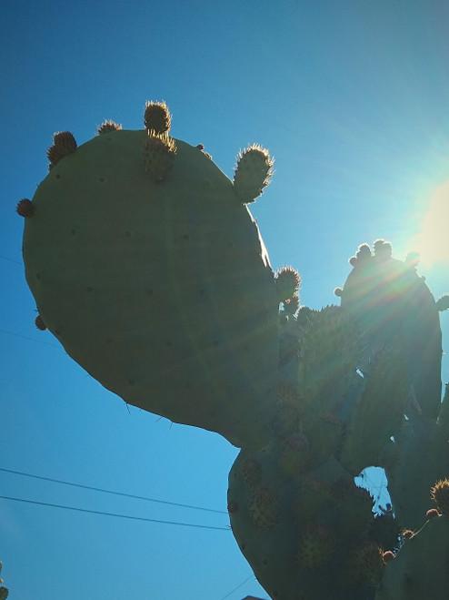 Opuntia Gigantus Cactus Plant