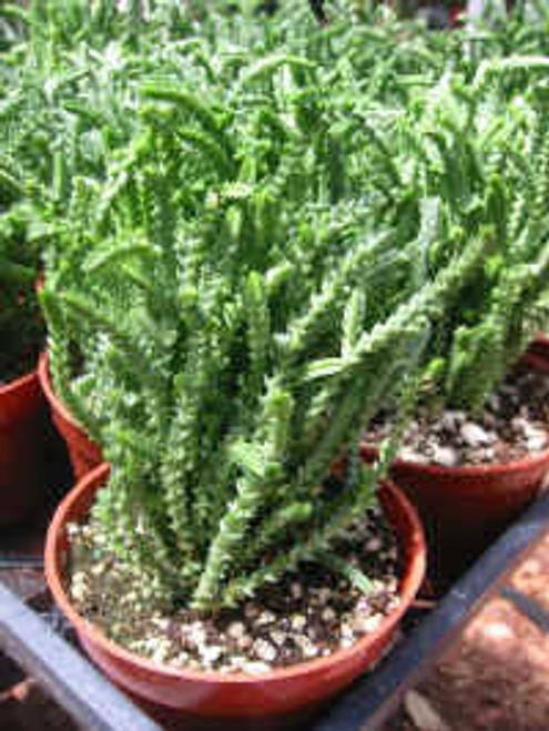 Crassula Mucosa Suculent Plant