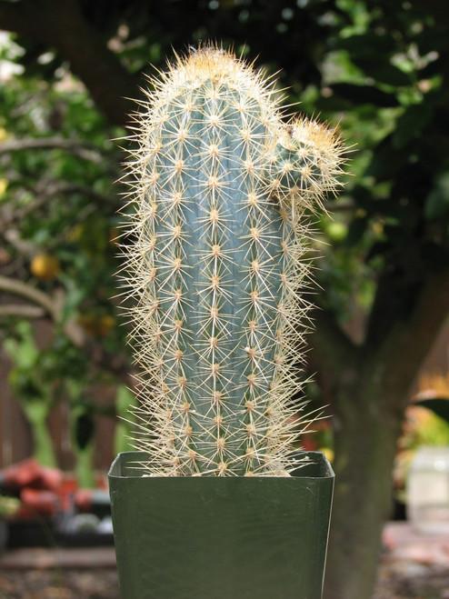 Pilocereus Azureus Cactus Plant