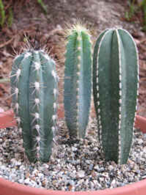 Three Column Cactus