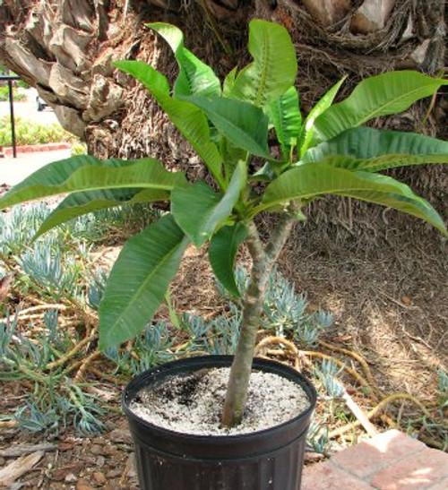 Plumeria tree succulent plant