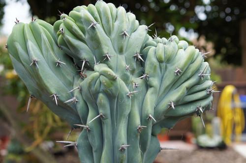 Myrtillocactus Cactus Plant