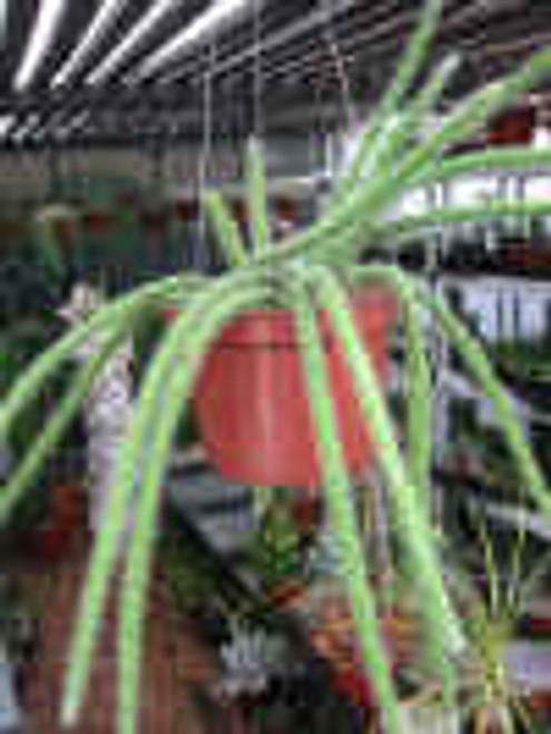 Hanging Rat Tail Aporocactus Plant