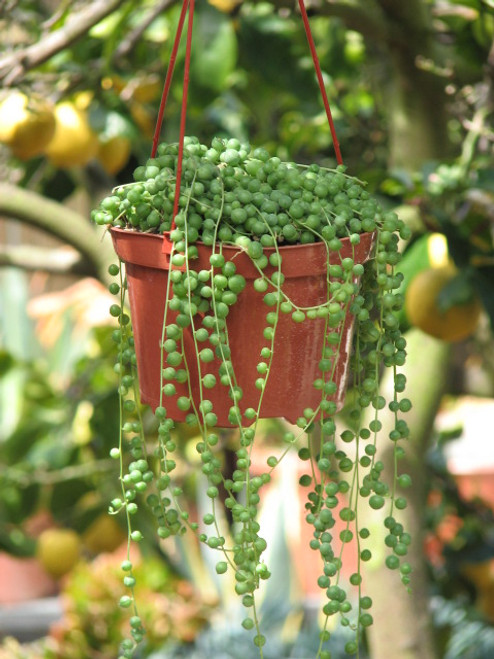 Hanging String of Pearls Plant