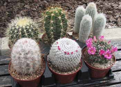 Six Pack Oversized Cactus Plants