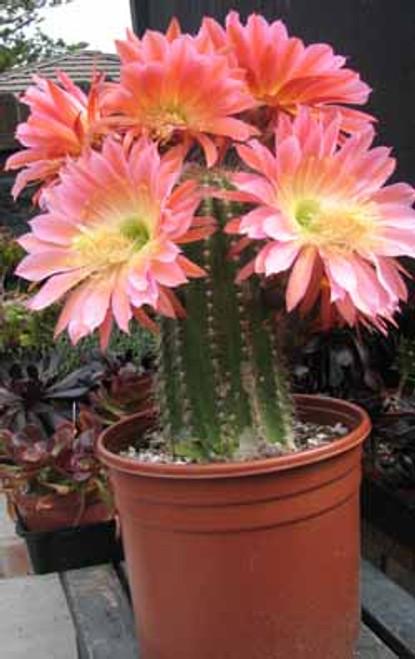 Trichocereus Hybrid Cactus Plant