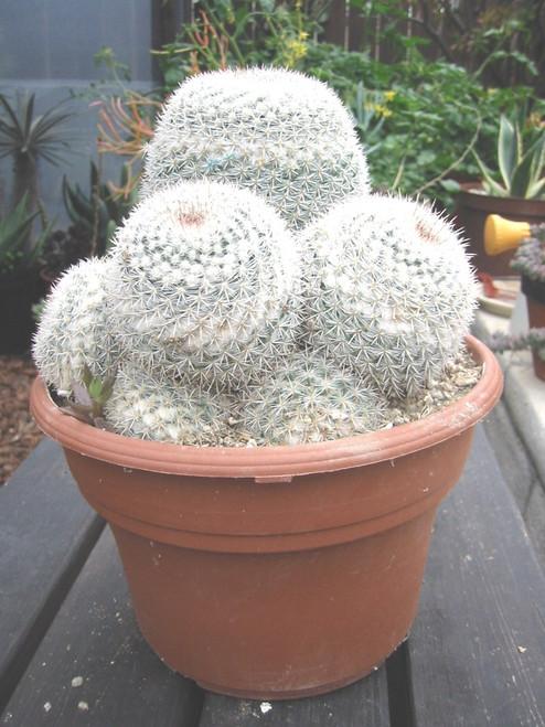 Mammillaria Maximum Cactus Plant