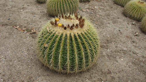 Grusonii Large Barrel Cactus