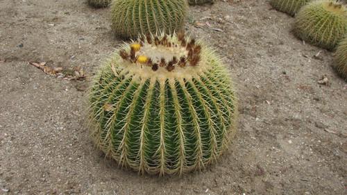 Grusonii Large Barrel Cactus
