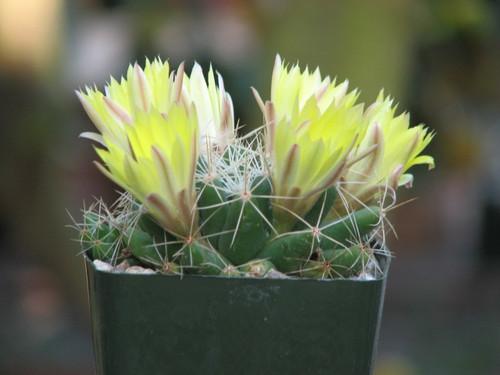 Mammillaria Maleluca Cactus Plant