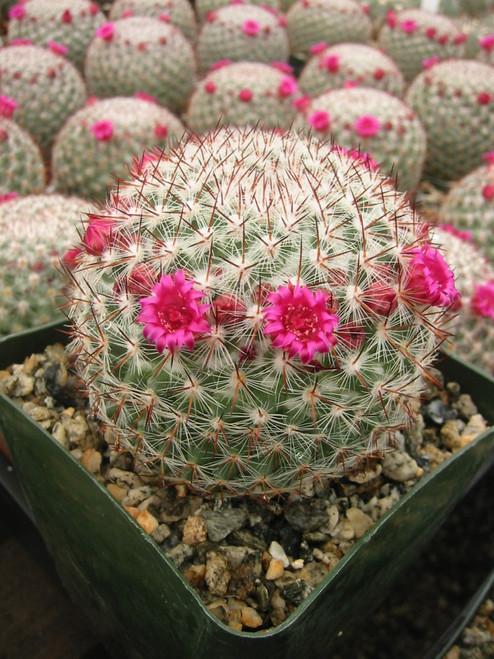 Mammillaria Rhodanta Cactus Plant