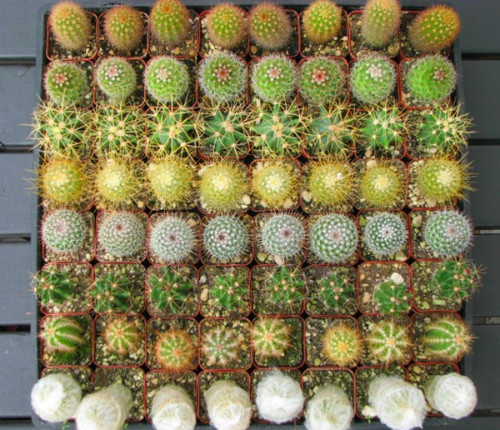 cactus mini plants