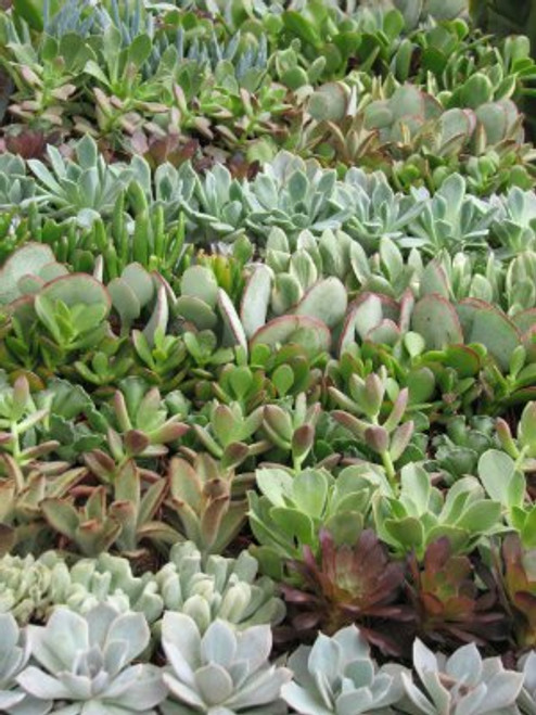 Succulent  64 Mini Plants for Weddings, Parties, Living Walls