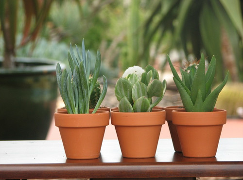 succulent plants in clay pots