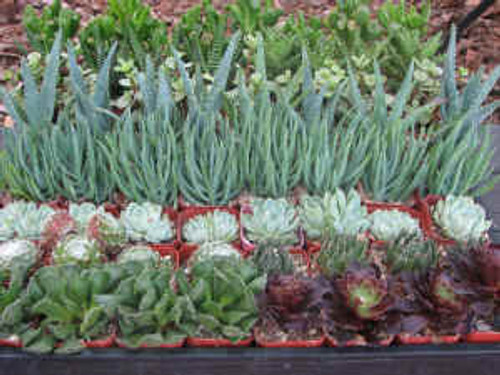 20 Mini Succulent Plants Collection